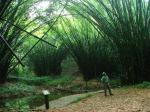 bamboo-cathedral-ankasa-national-park