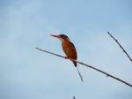 malacite-kingfisher