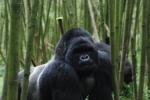 2-gorillas