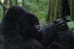 4-gorillas