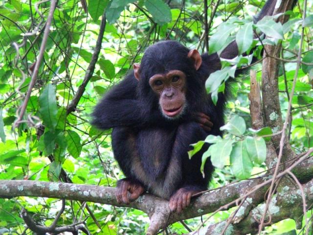 5-the-chimps