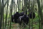 6-gorillas