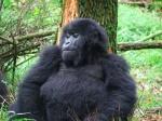 7-gorillas