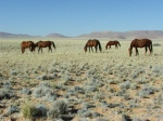 Feral Horses at Aus