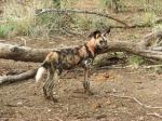 2 Wild Dog